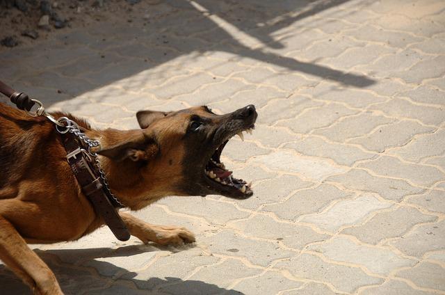 Vicious dog on a leash